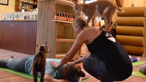 Hogy mi a jobb a kecskés jógánál? Bébikecskékkel jógázni!