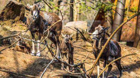 Ötös ikrek születtek a Nyíregyházi Állatparkban
