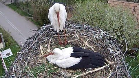 Nézd élőben, hogyan csatáznak egymással a gólyák!
