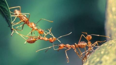 Hihetetlen, hogyan mentik meg sérült társaikat a hangyák