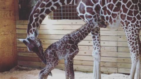 Milliók nézték, ahogy a világ leghíresebb zsiráfja világra hozza kölykét