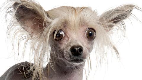 Hamis meztelen kutyákat árulnak a neten