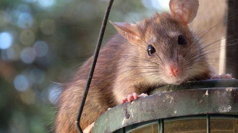 Elképesztő módszerrel harcol New York a patkányok ellen