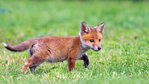 Megmenekült Ropi, a cuki rókakölyök – fotók
