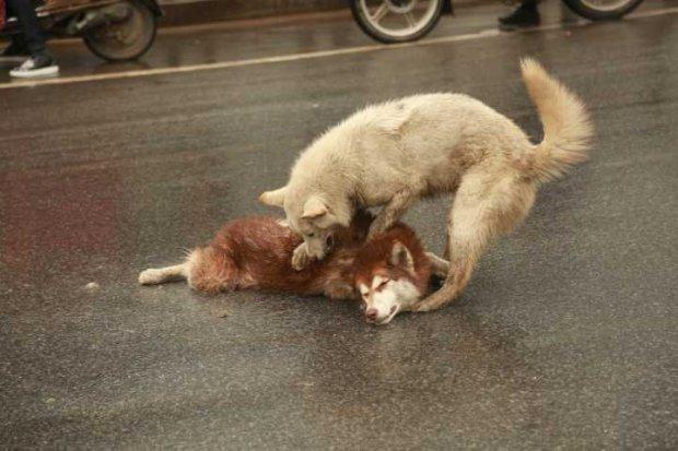 Testével védelmezte elütött társát a kutya