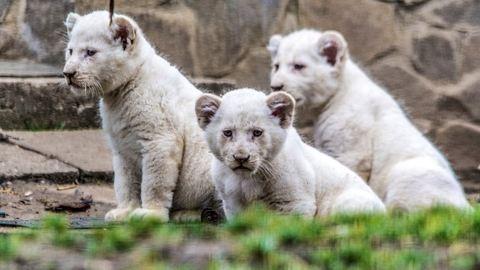 Imádni való videó a Nyíregyházi Állatpark fehér oroszlánkölykeiről