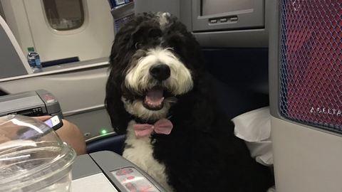 A stílusosan utazás királya ez a nyakkendős kutya – cuki fotó
