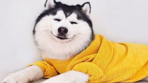 Ennél a huskynál nincs boldogabb kutya a világon