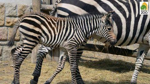 Már futkározik a legkisebb állatkerti zebracsikó – fotó