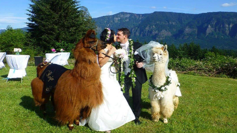 Jelmezes lámákat bérelnél az esküvődre? Semmi akadálya!