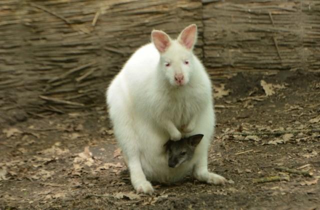 Albínó kengurunak is születhet szürke utóda