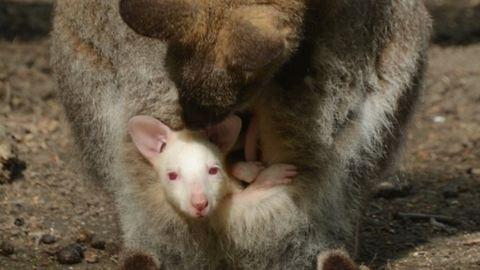 Albínó bébije született a Szegedi Vadaspark Benett-kengurujának