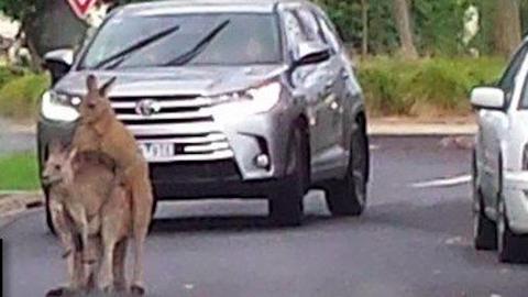 Forgalmi dugót okoztak a nimfomániás kenguruk – fotó
