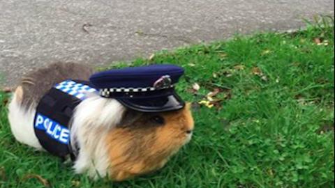 Az új-zélandi rendőrség legcukibb tagja ez a tengerimalac