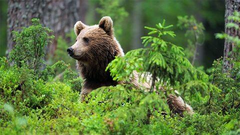Testvérpárra támadt egy medve Székelyföldön