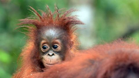 Albínó orángutánt találtak Borneón – fotó