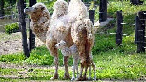 Zabálni való tevecsikó született Nyíregyházán – fotó