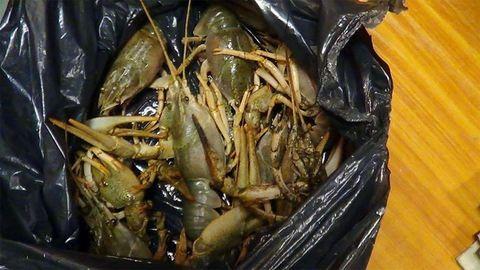 Kis vízi szörnyeket találtak a vámosok a csomagtartóban – fotók