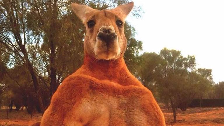 Szobrot állítana a szuperizmos kengurunak egy ausztrál város