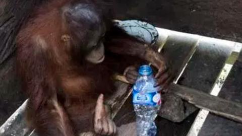 Két évig egy dobozban élt, most először lát leveleket az orangután – videó