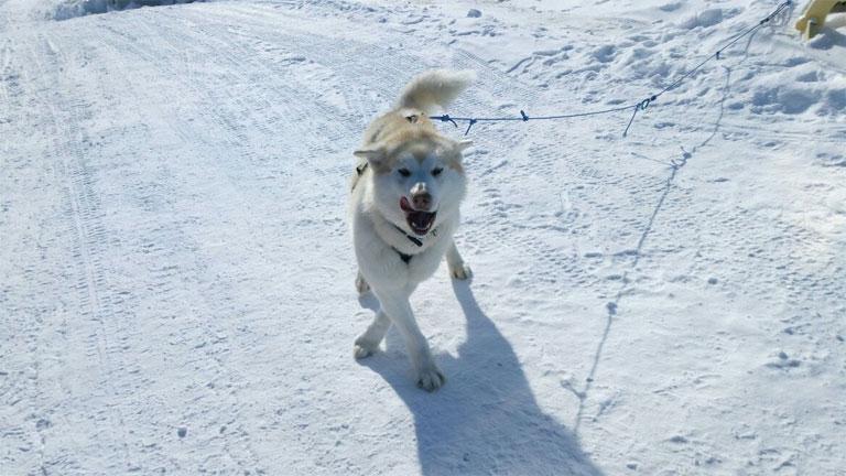 Bodri, a jegesmedvejelző inuk egyelőre nem váltotta be a hozzáfűzött reményeket (Fotó: Antarctrip.com)