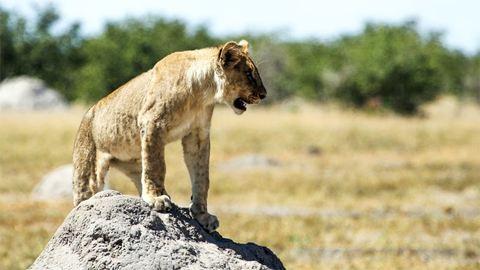 Szökött oroszlánok riogatják a helyieket
