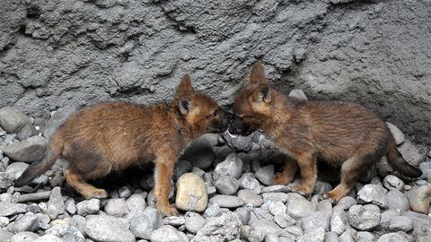 Elképesztően cuki vadkutyakölykök születtek Budapesten – fotók