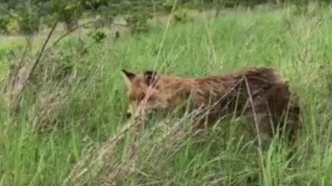 Szabadon engedték a tetőn talált rókát
