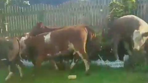 Egy egész tehéncsorda rontott egy férfi hátsó kertjébe – videó