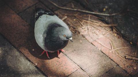 Bokáig ért a galambürülék egy pécsi bérlakásban – fotók