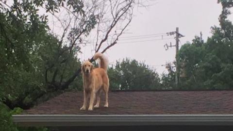 Imád a háztetőn lenni a vagány kutya – cuki fotó