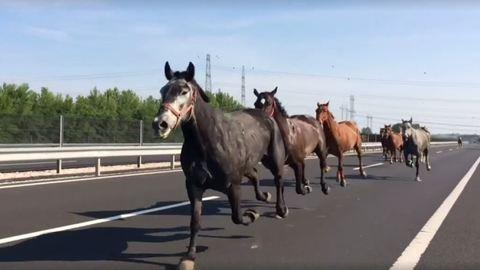 Ezek a lovak az autópályán galoppozva köszöntik a hétfő reggelt – videó