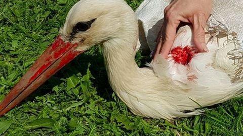 Megmentették a meglőtt gólyát