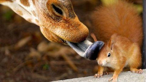 A zsiráf képes megnyalni a saját fülét – 38 teljesen haszontalan érdekesség