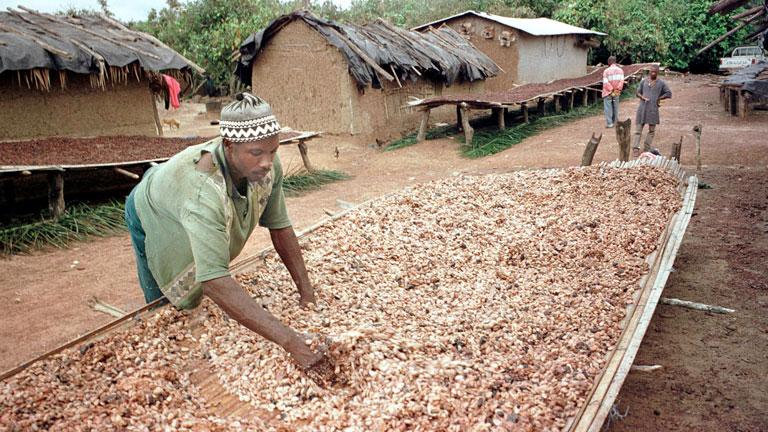Kakaóültetvényes az afrikai Elefántcsontparton - egyre nehezebb körülmények között kell dolgozniuk (Fotó: Getty Images)