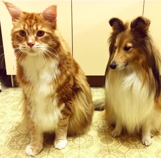 Az óriási macska simán eléri a konyhapultot is