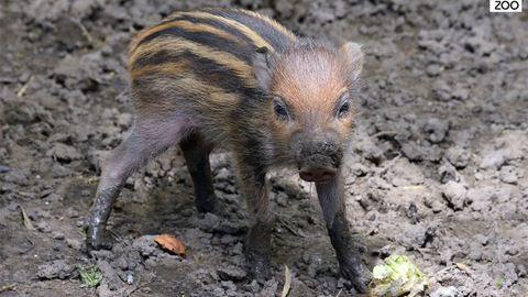 Cuki cebui malacok születtek a budapesti állatkertben