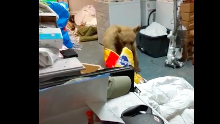 A kutyák eledelére pályázott az éhes medve – videó