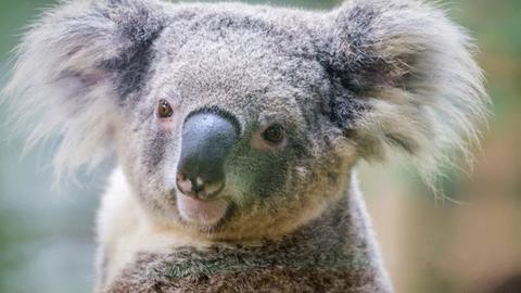 Kihalás fenyegeti a koalákat Ausztráliában