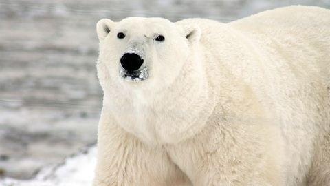 Drámai következménye lehet a jegesmedvék étrendváltásának