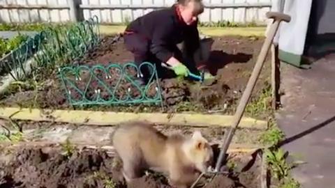 A kertészkedésbe is besegít a cuki medvebocs – videó