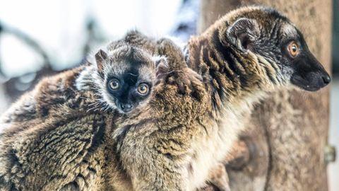 Eszelősen cuki állat született a Nyíregyházi Állatparkban