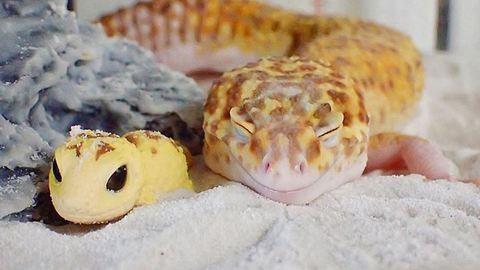 Imádja a net a mosolygó gekkót