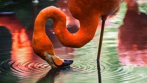 Ezért állnak fél lábon a flamingók