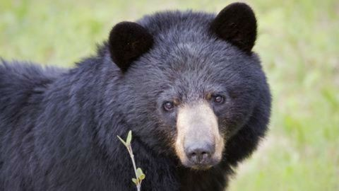 Videóra vette a vadász, ahogy megtámadja egy medve