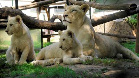 Isteni nevet kaptak a Nyíregyházi Állatpark oroszlán hármasikrei