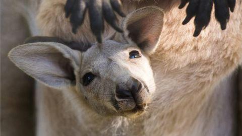 Óriáskenguruk születtek Nyíregyházán – fotók