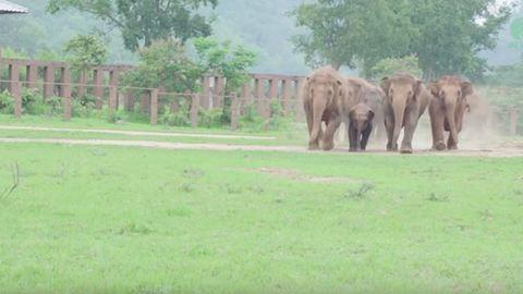 Így üdvözlik az elefántok a legújabb jövevényt – videó