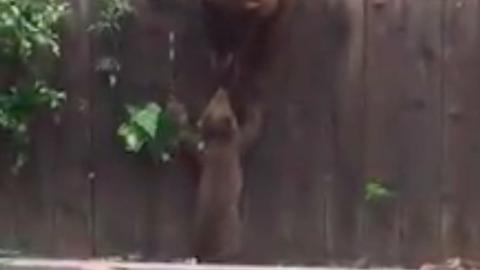 Meggyűlt a kis medvebocs baja a magas kerítéssel – cuki videó