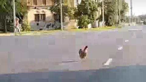 Autók között sétálgatott a vakmerő debreceni csirke – videó